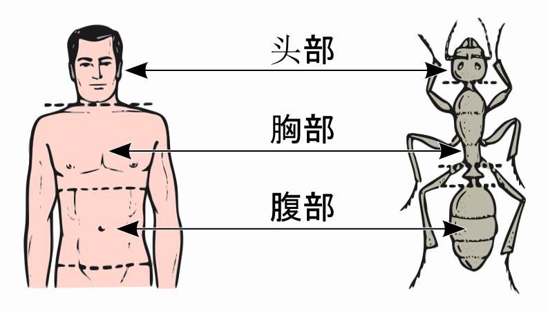 中央の矢印が、ヒトと外骨格を持つ生物のそれぞれの胸郭を示す
