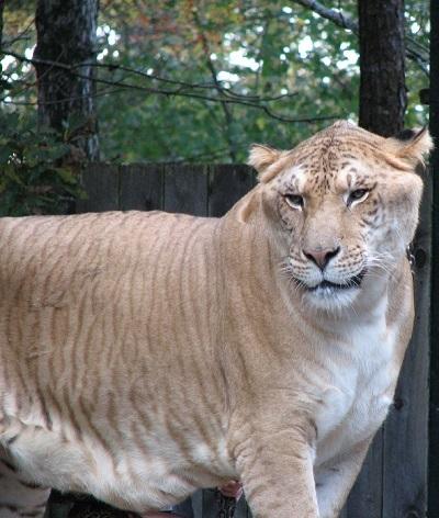 父がライオンで母がトラの雑種動物のライガー (Liger)