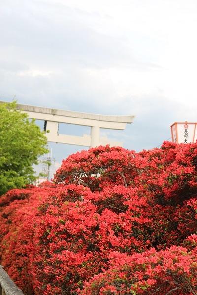 2017.05.03 長岡天満宮(霧島つつじ)②-9