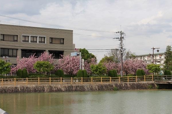 2017.05.04 長岡天満宮(八重桜)-1