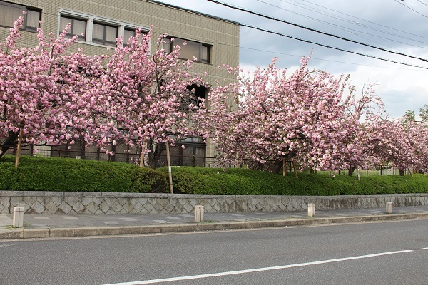 2017.05.04 長岡天満宮(八重桜)-2