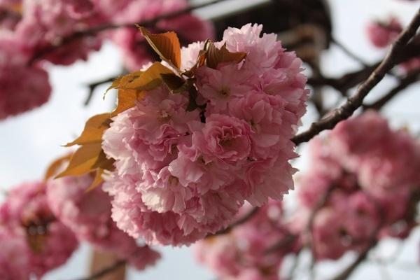 2017.05.04 長岡天満宮(八重桜)-4