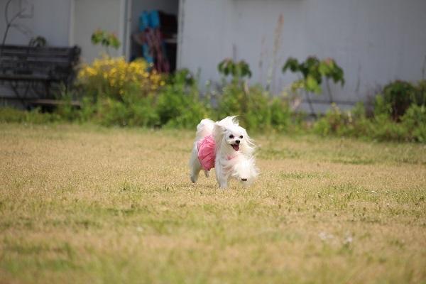 2017.06.05 淡路島旅行1日目① 南あわじドッグラン飛行犬撮影所-4