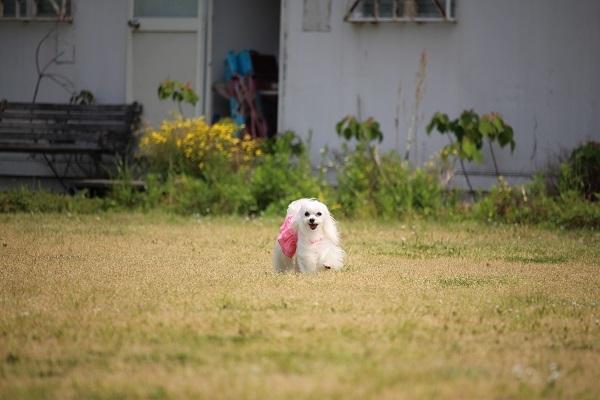2017.06.05 淡路島旅行1日目① 南あわじドッグラン飛行犬撮影所-7
