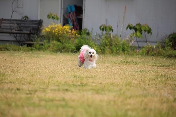 2017.06.05 淡路島旅行1日目① 南あわじドッグラン飛行犬撮影所-8
