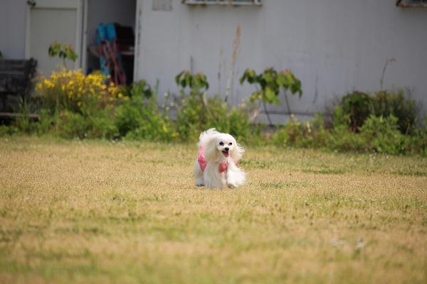 2017.06.05 淡路島旅行1日目① 南あわじドッグラン飛行犬撮影所-9