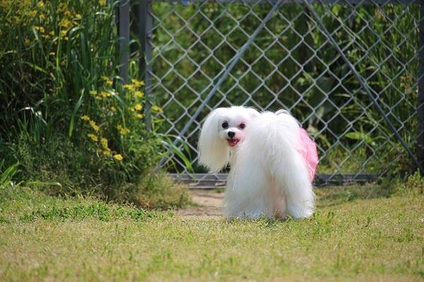 2017.06.05 淡路島旅行1日目① 南あわじドッグラン飛行犬撮影所-17