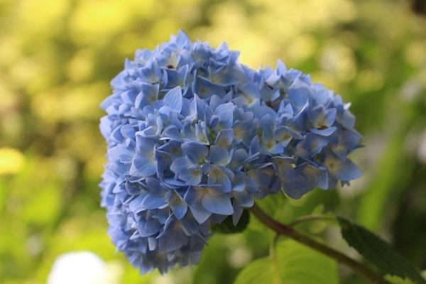 2017.06.29 柳谷観音(紫陽花)-7