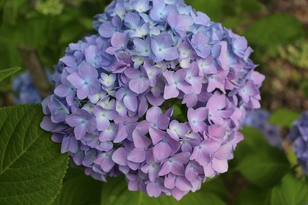 2017.07.12 紫陽花(柳谷観音)-6