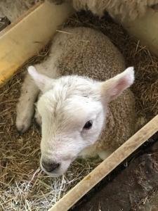 デンマーク牧場子羊2017.5.2