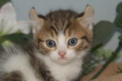 宮城県仙台、塩釜のペットショップ/最新子猫情報/アメリカンカール