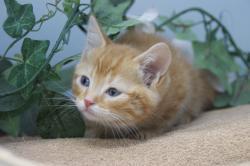 宮城県仙台、塩釜のペットショップ/最新子猫情報/アメリカンショートヘアー