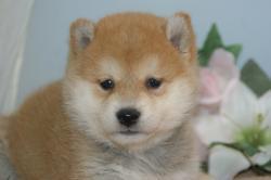 宮城県仙台、塩釜のペットショップ/豆柴サイズの柴犬