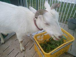 【写真】小屋に戻るなりエサカゴの中の葉っぱを食べるアラン