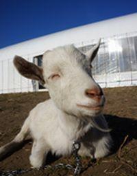 【写真】ピースプルな顔で眼を細めるヤギのアラン