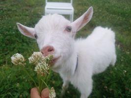【写真】差し出したシロツメクサを見上げながら食べる子ヤギのポール