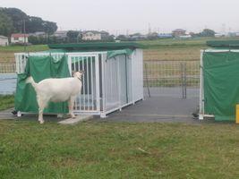 【写真】小屋に入ったポールを柵越しに見守るアラン