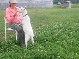 【写真】子ヤギのポールが膝の上に前脚をのせてクローバーを食べている様子