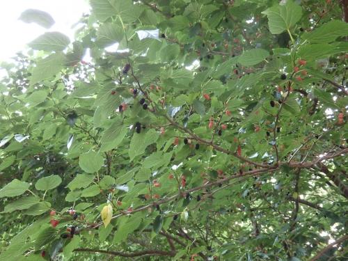 桑の木ズーム