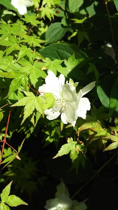 ①新緑のモミジと黄色のツツジの花
