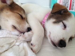 愛媛県動物愛護センターでのパルボウィルス感染によって生死の境をさまよったものの、ミーママの機転や判断力、松山隊の献身的な看護によって、2匹とも奇跡的に助かり、よりそって眠るはっとり、はんぞう君