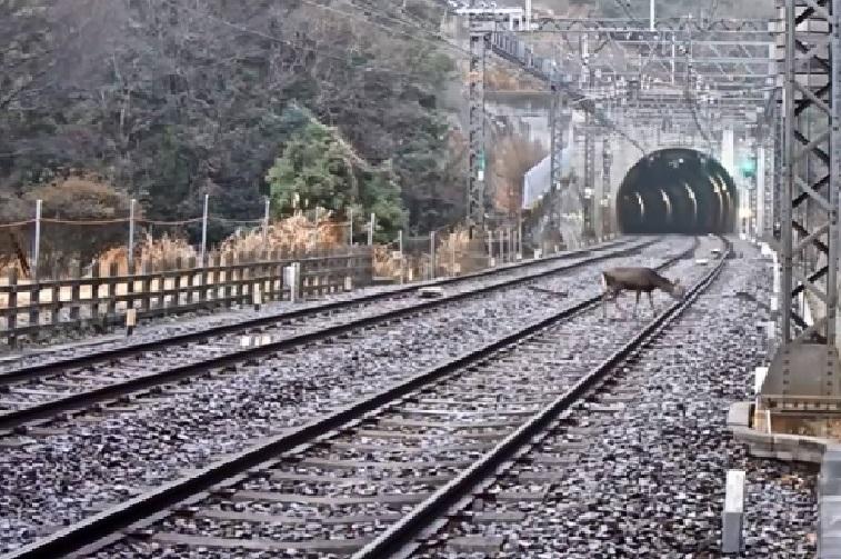 奈良の鹿1線路内に入り込んだシカ