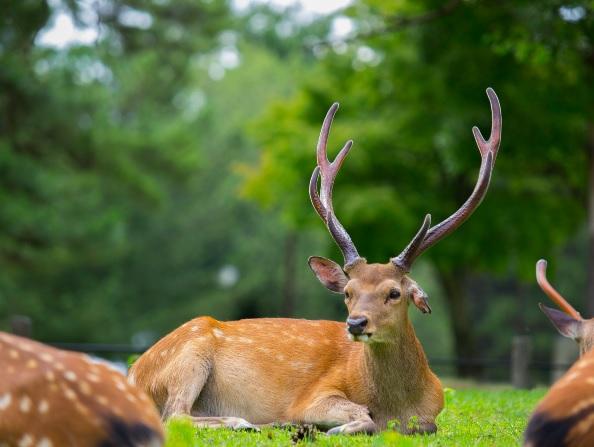 奈良の鹿3