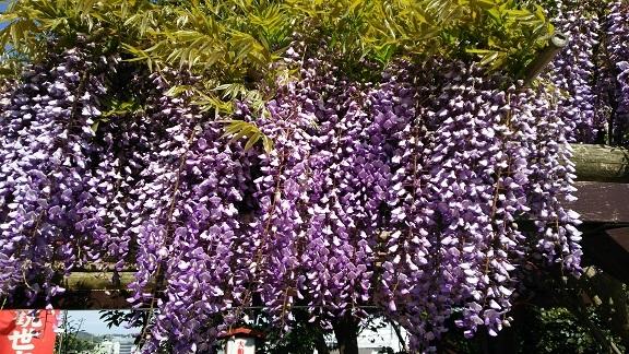 大船観音様の境内の藤の花