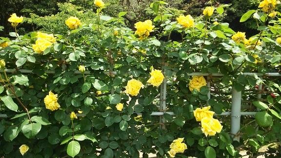 黄色いバラ]
