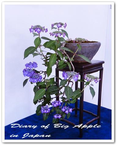 紫陽花の盆栽