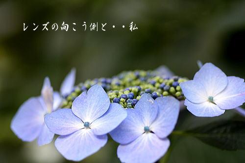 ajisai3.jpg