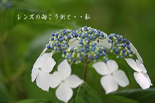 ajisai5.jpg