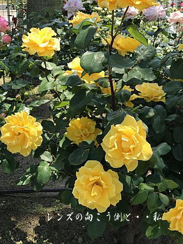 rosegarden3.jpg