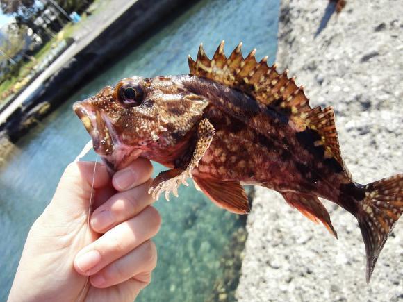 ゴールデンウィーク 館山釣行 2017 根魚 カサゴ