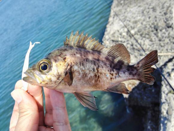 ゴールデンウィーク 館山釣行 2017 根魚 メバル