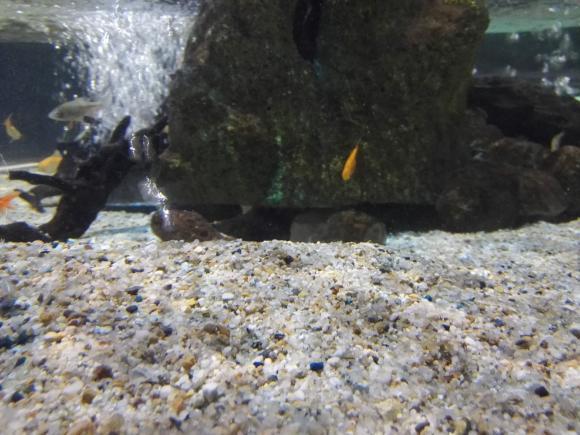 水槽 魚 隠れ家 根魚 観察 1歳児