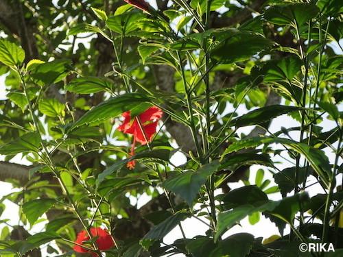 hibiscus28/03/17