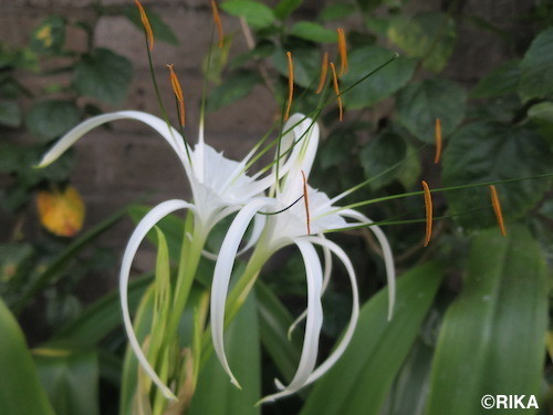 spider lily28/03/17