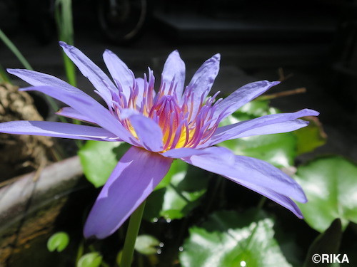 water lily29/03/17