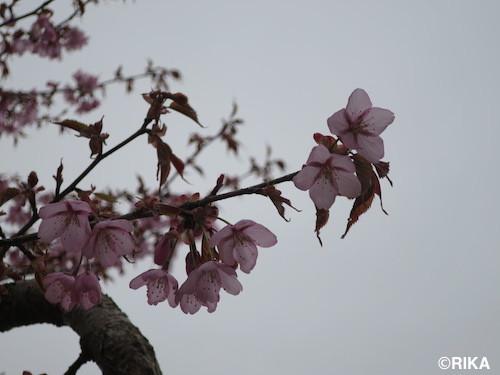 sinrinkouen1-13/05/17