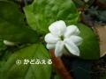 25 茉莉花