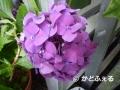 25ピンク紫陽花