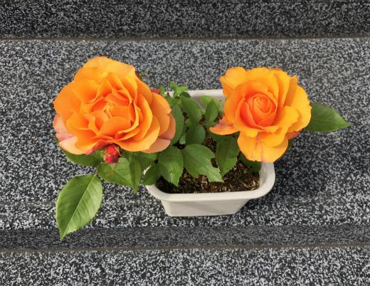s-980-7鉢植えのオレンジ