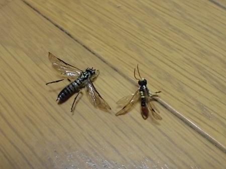 ハバチ標本失敗