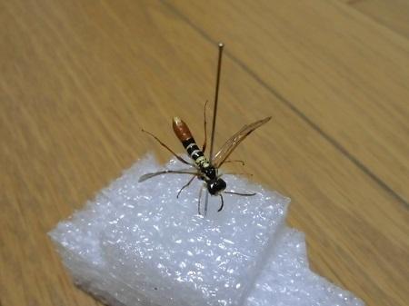キコシボソハバチ乾燥標本