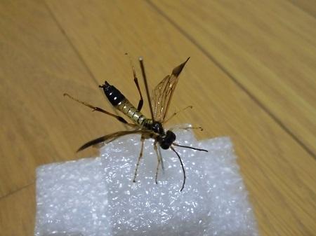 オオツマグロハバチ乾燥標本