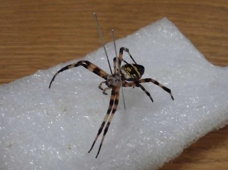 チュウガタコガネグモの乾燥標本