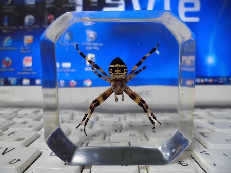 チュウガタコガネグモの樹脂標本