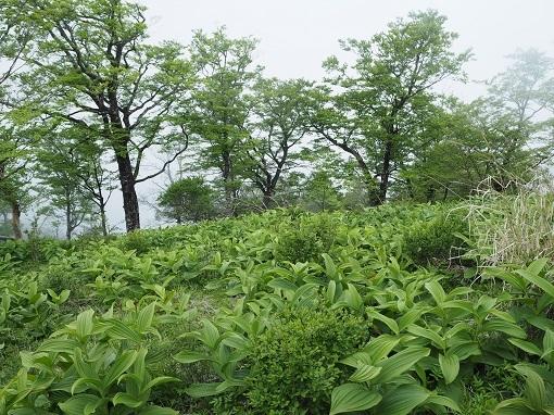 青ケ岳山荘付近のコバイケイソウ