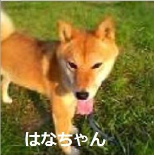 はなちゃん 柴犬